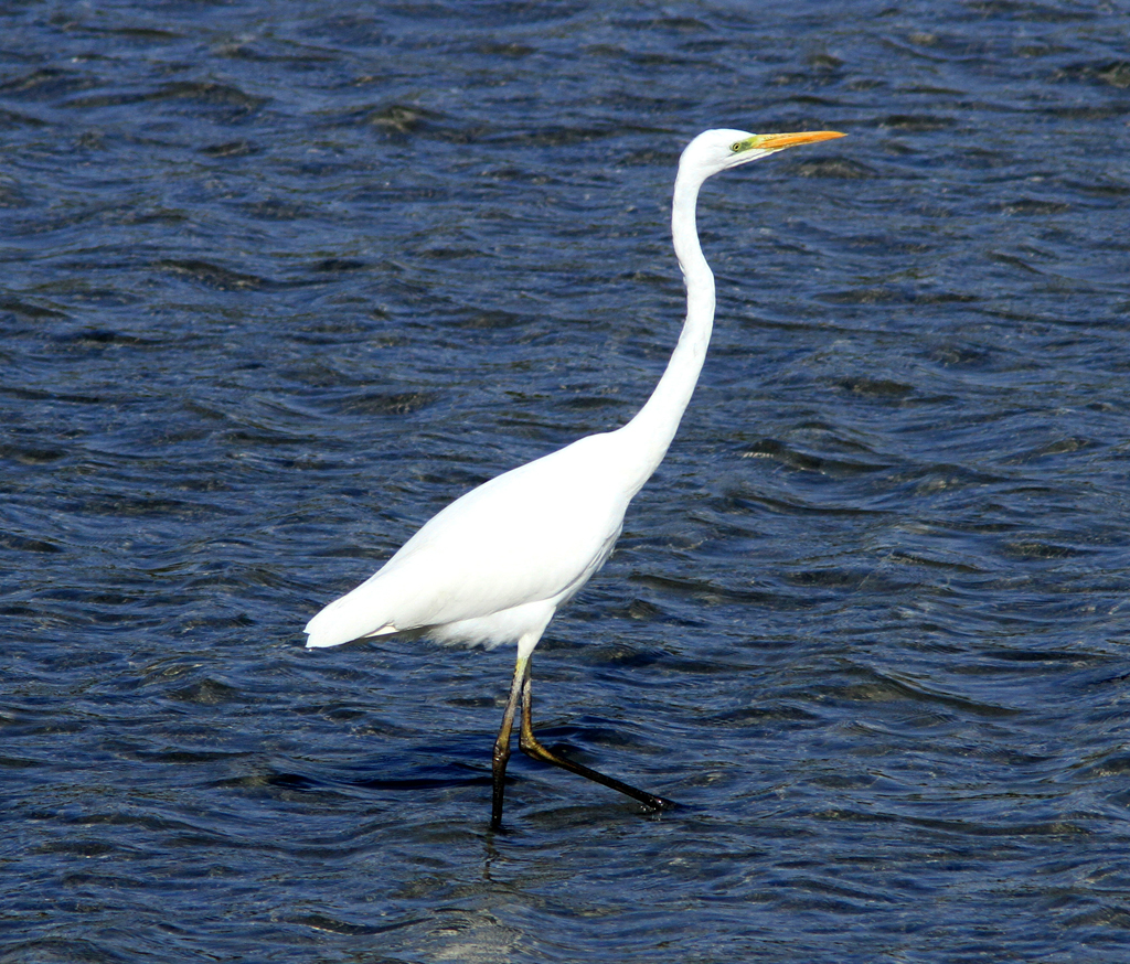 Pin Great White Egret Yellow Bill Black Legs And Feet on ...