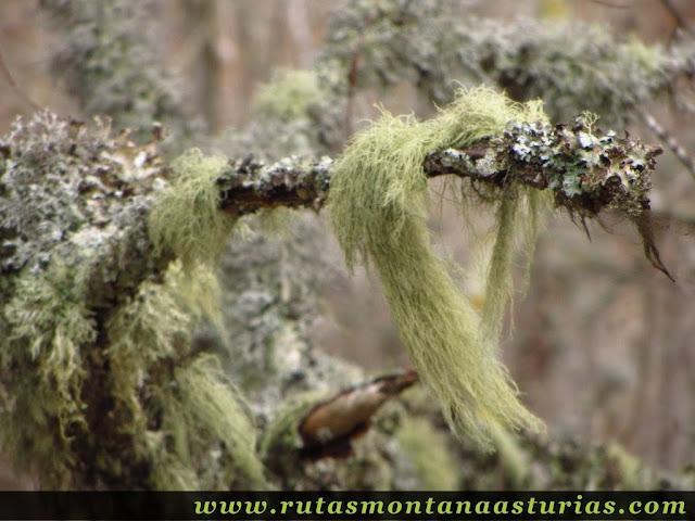 Líquen en el Parque Natural de las Fuentes del Narcea