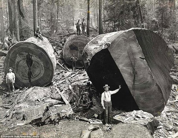 Rarest Historical Photos, That you can Never Forget. - Photo of California lumberjacks, in Redwoods