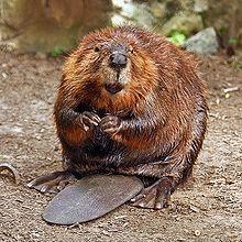 10 อันดับสัตว์, ชีวิตสัตว์, สัตว์สถาปนิก, บีเวอร์ (Beaver)