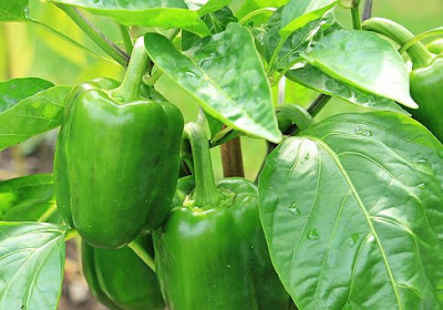 manfaat-paprika-hijau-bagi-kesehatan,www.healthnote25.com