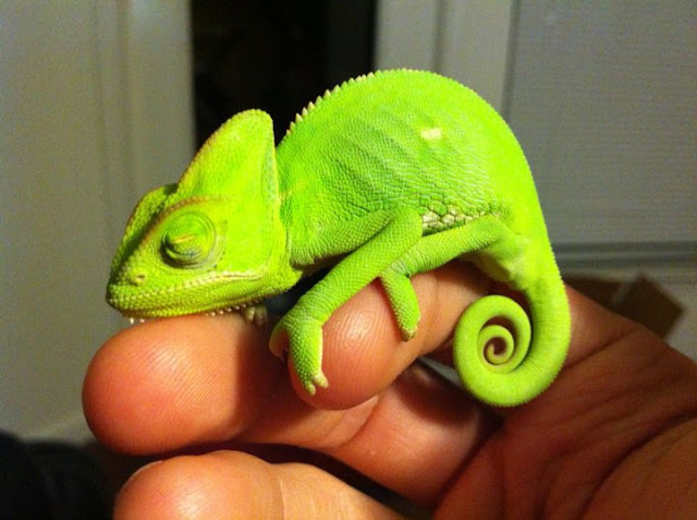 baby cute animal animals adorable chameleon creatures