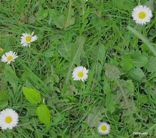 lawn daisy, Bellis perennis