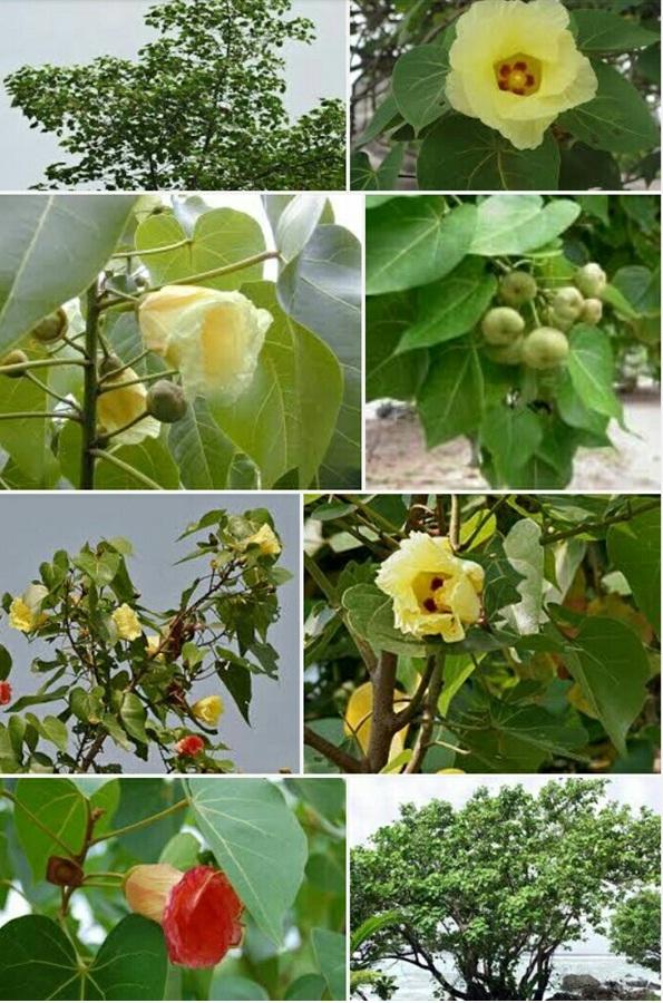 பூவரசு மரம்