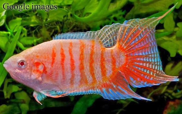 Macropodus Opercularis - Cupang Paradis atau Paradise Fish