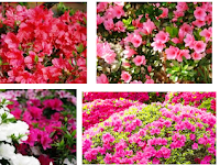 Cara Budidaya Tanaman Bunga Azalea