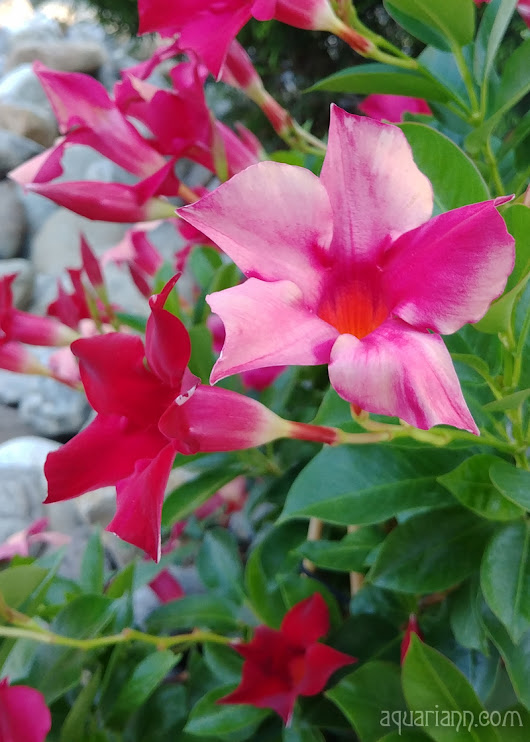 Red Flower Photo: Mandevilla Vine at Mansion Farm Inn