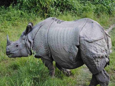 gambar badak jawa bercula satu (rhinoceros sondaicus)