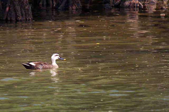 bird, duck, river, mangroves, Kin Town, Okinawa