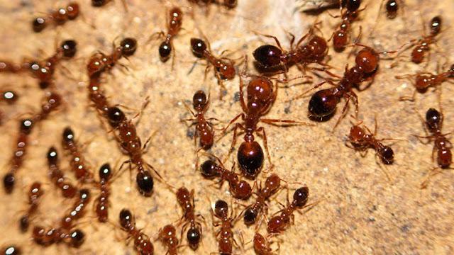 Descubren hormigas venenosas de Sudamérica en un puerto de Japón