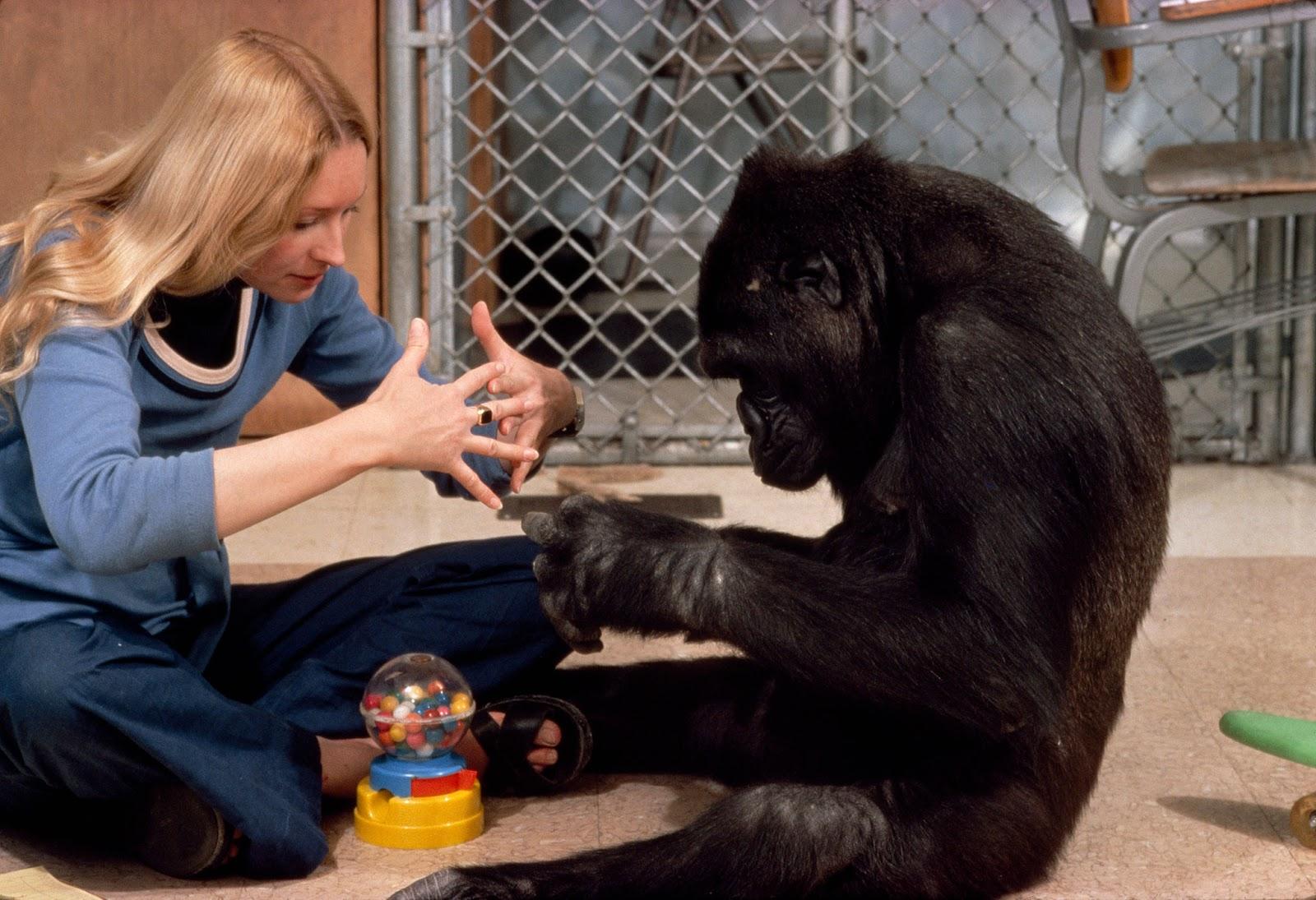 Retro Kimmer S Blog Koko The Sign Language Gorilla Has Died At 46