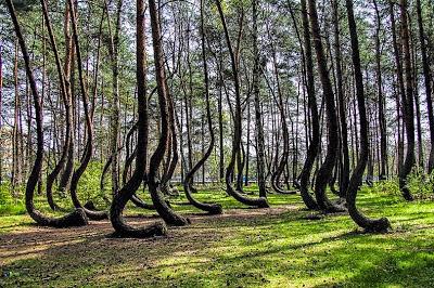 Hutan Aneh dengan Pohon Bengkok Di Polandia