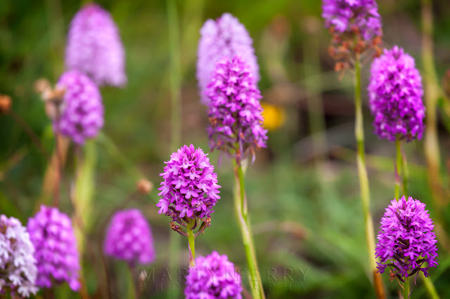 pink blooms of pyramidal orchids in this macro shot from Barnack Hills & Holes