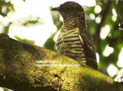 Indian Cuckoo in Bidadari