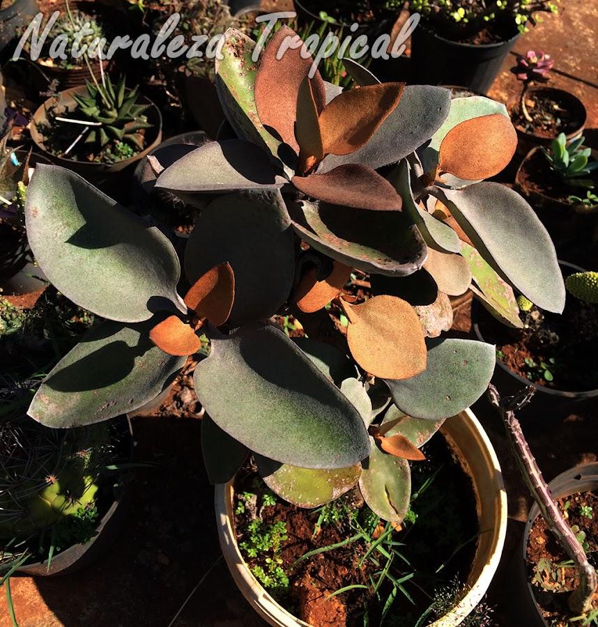 La planta suculenta Hojas de Cobre, Kalanchoe orgyalis
