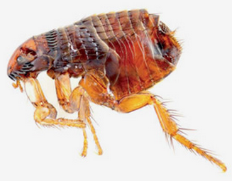 parasitos artropodos en humanos