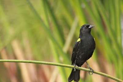 Yellow winged Blackbird