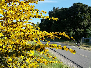 Bright yellow flowers on a California flannel bush (Fremontodendron californicum) along the Stevens Creek Trail