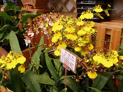 Grow and care Oncidium flexuosum orchid - The Bent Oncidium