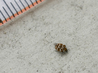 Anthrène du Bouillon blanc - Anthrenus verbasci - Anthrène des tissus