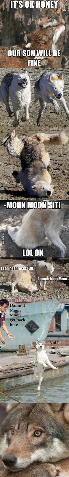 It's ok honey, our son will be fine... Ohh.. Not again Moon Moon.... | #wolf #funny #MoonMoon #adorable