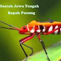 Lirik Lagu Bapak Pucung dan Terjemahannya (Jawa Tengah)