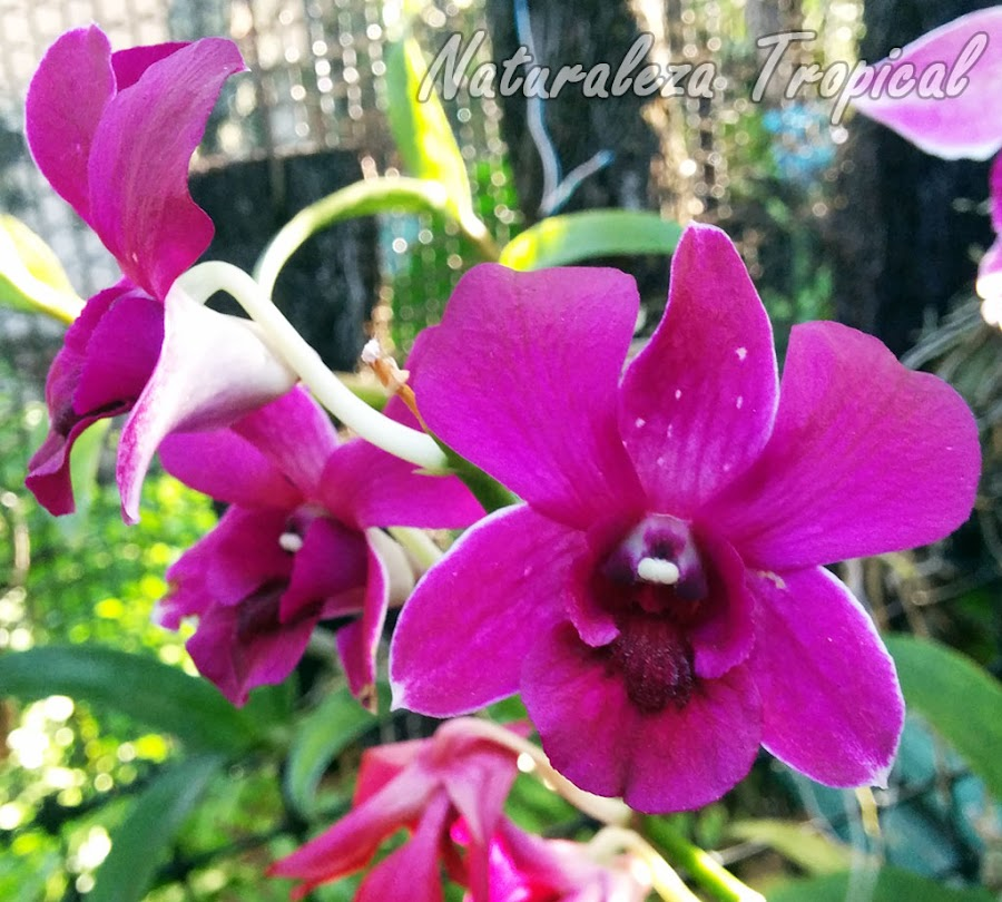 Otra orquídea híbrida del género Dendrobium