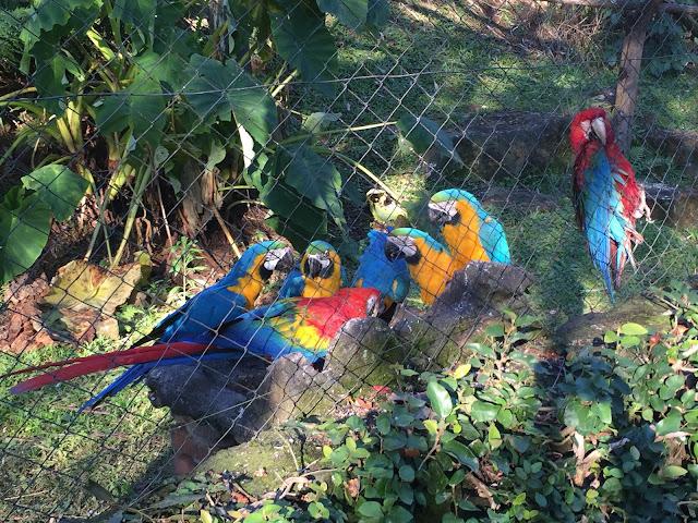 Araras fazendo o lanche de sementes da tarde no Gramado zoo