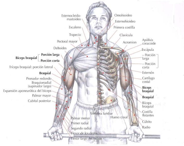 Curl de bíceps con barra, gran ejercicio para desarrollar los bíceps
