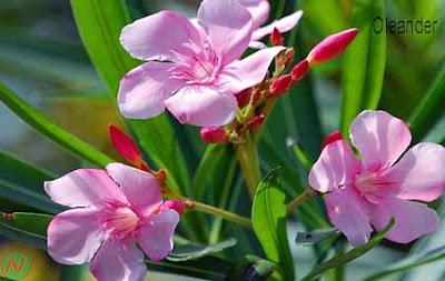 oleander flower, oleander
