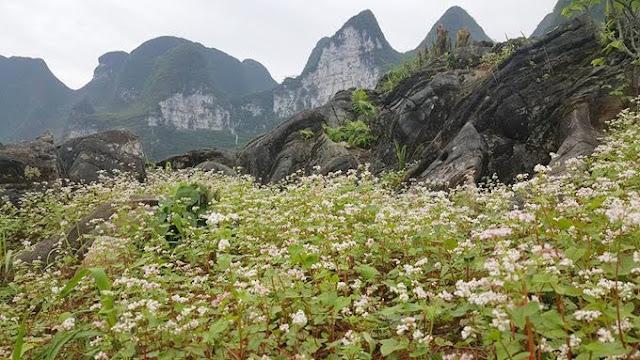 Vườn hoa Tam Giác Mạch khổng lồ tại Mã Pí Lèng, Hà Giang
