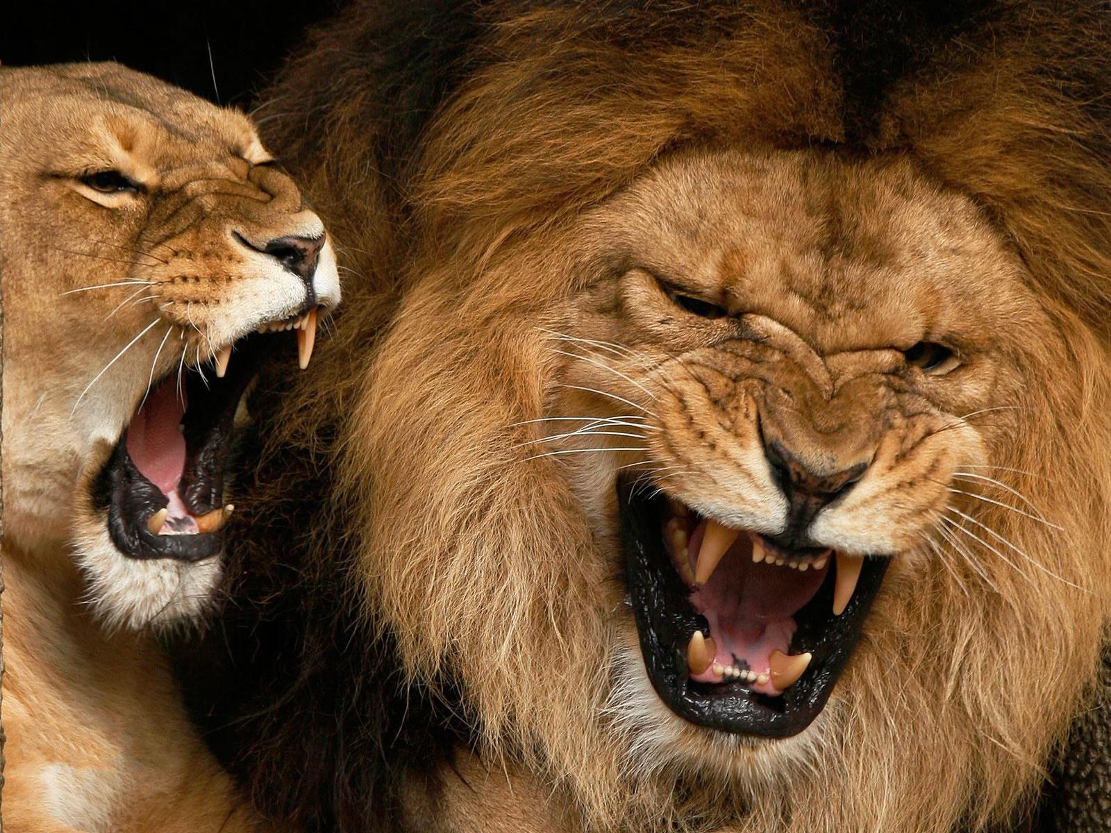 Roaring Animal Lion Wallpapers