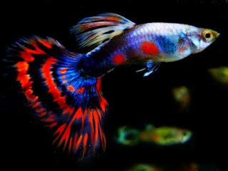Jenis dan harga Ikan Guppy Diamond Platinum Blue