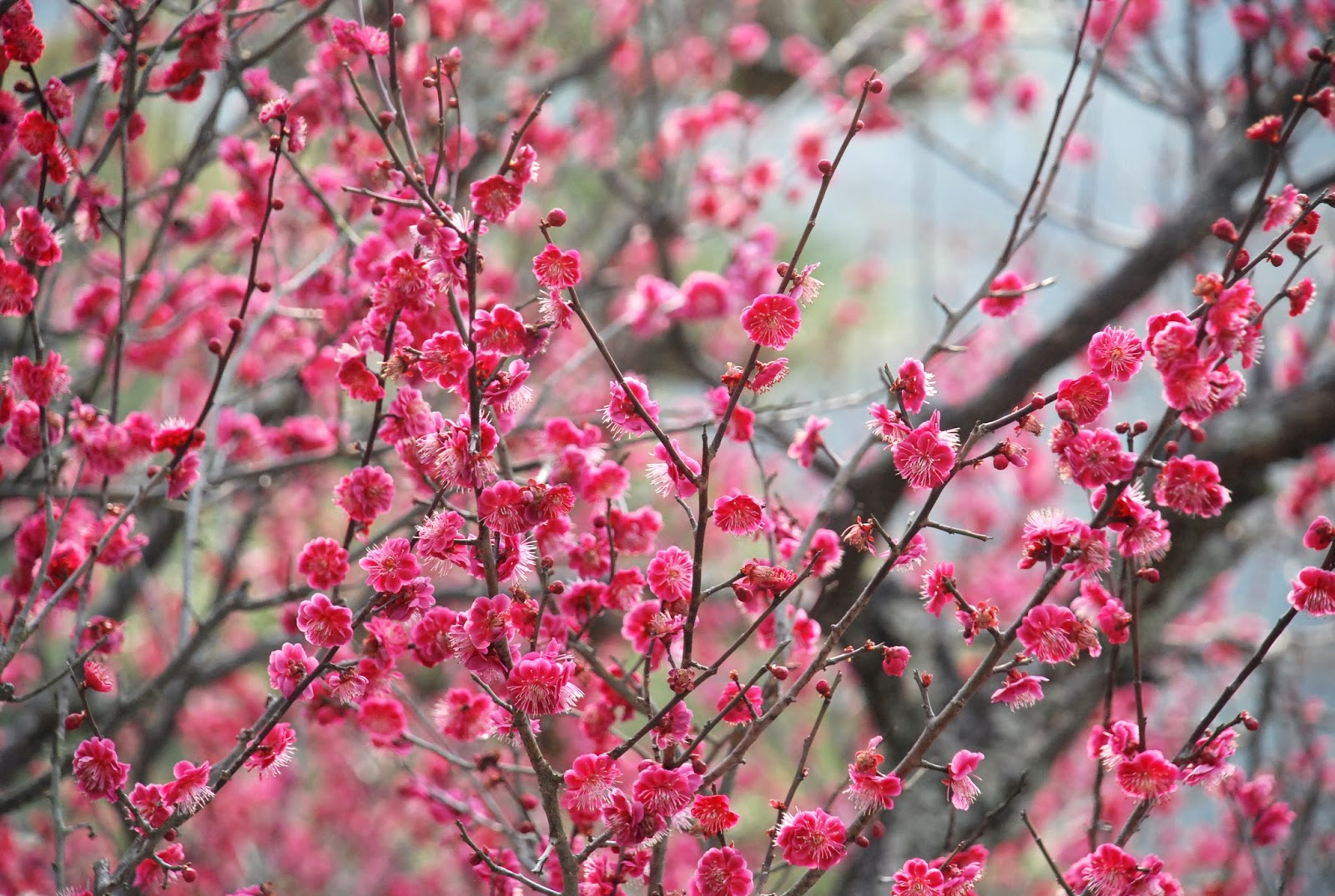 Is This Cherry Blossom Identify Early Flowering Trees Coffee Milk Tea