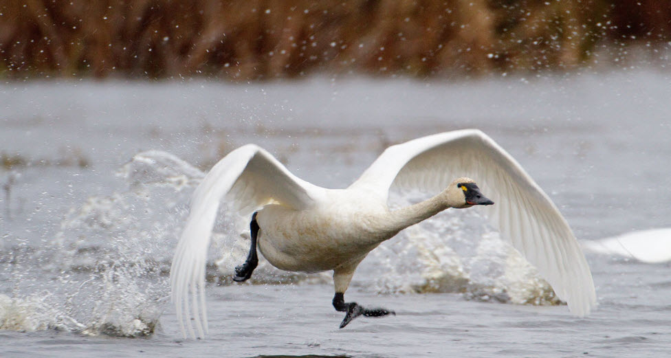 Tundra Swan The Biggest Animals Kingdom