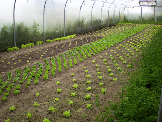 Inside a polytunnel with rows of young baby lettuces starting to come through