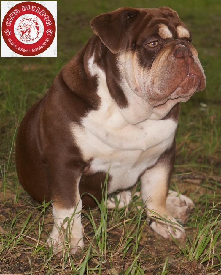 Cute Rare Color English Bulldog Club Bulldog