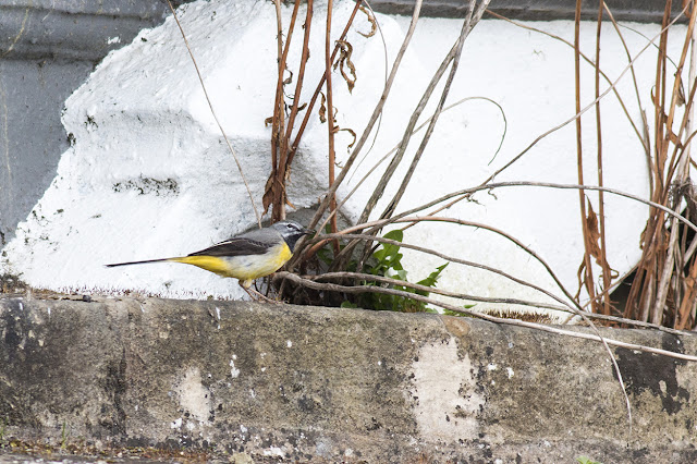 Grey Wagtail (heavy crop)