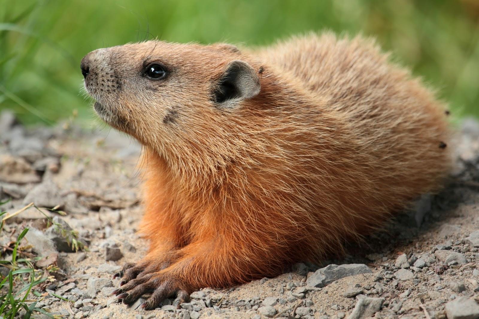 Mammals Animals: Marmota monax UL 04