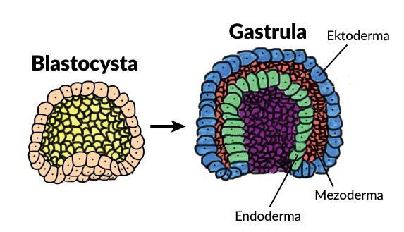 Gastrula gastrulacja