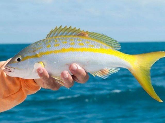 Budidaya Ikan Ekor Kuning