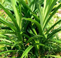 Efficacy and benefits Pandan leaf for human health