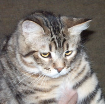 Pixie-Bob Cat Breed Images | Beautiful Cat Pictures