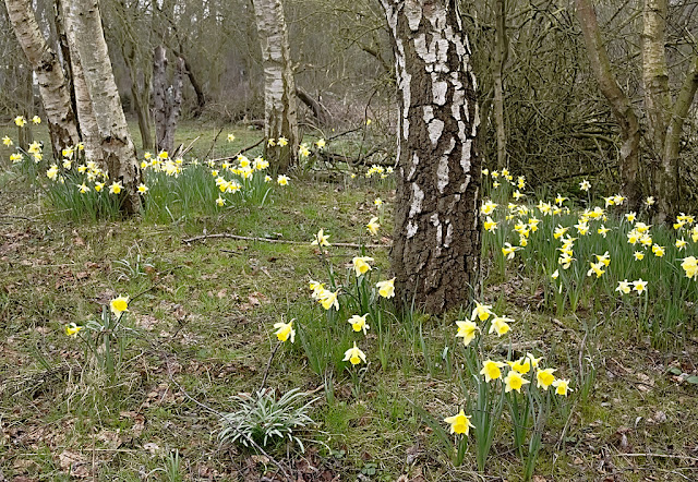 Clumps of daffodils growing beneath silver birch trees
