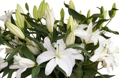 Bunga istimewa ini merupakan jenil lili atau sering diseut sebagai bunga bakung Bunga Lily Casablanca - Simbol Kebahagiaan dan Kasih Sayang