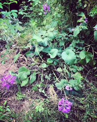 Jalopähkämö jalopillike pienet terttumaiset kukinnot torvimaiset kukat