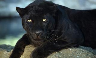 Αττικό Ζωολογικό Πάρκο: «Ήταν η μόνη επιλογή μας να σκοτώσουμε τους ιαγουάρους»