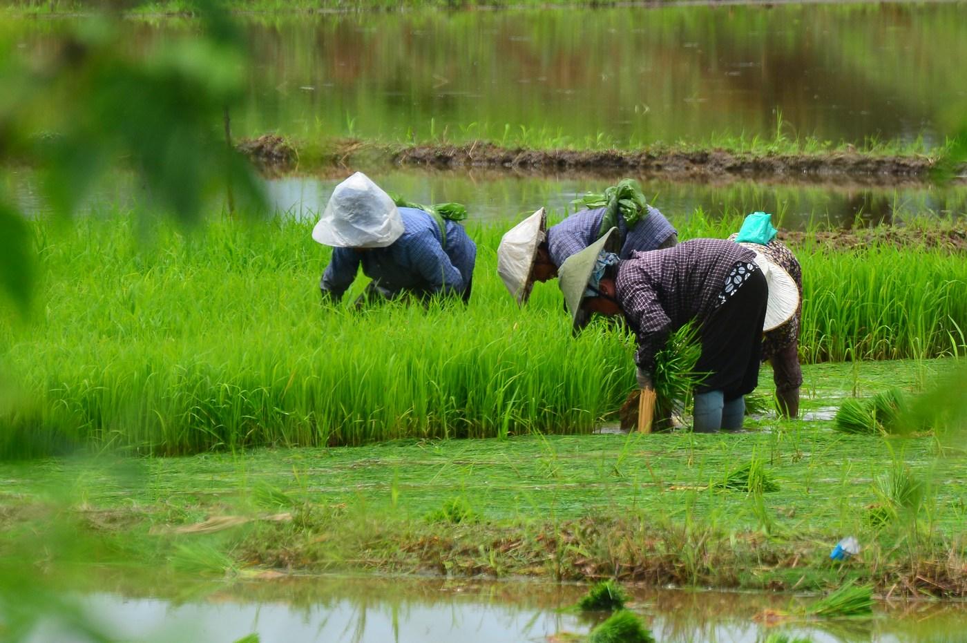 Dans toute la région du Mékong, la culture du riz est intensive et vitale. On a dénombré 40 000 variétés de riz sur les 140 000 km² de rizières... Le repiquage se fait souvent à la main, comme ici.