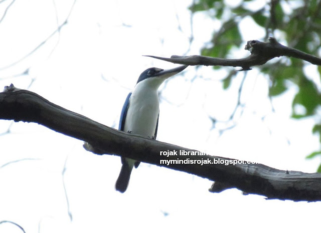 Collared Kingfisher in Bidadari