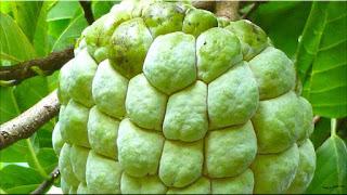 gambar buah srikaya, buah nona
